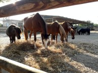 Caballos y ponis S'Hort Vell (paddocks)