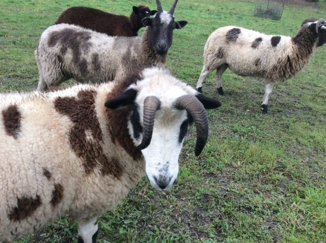 Jacob Sheep 2