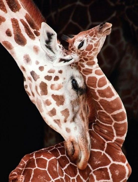 Girafe Rotschild