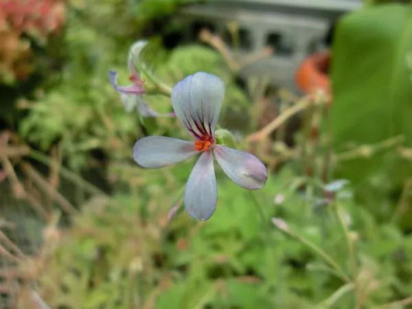ペラルゴニウム・パールグレイの花