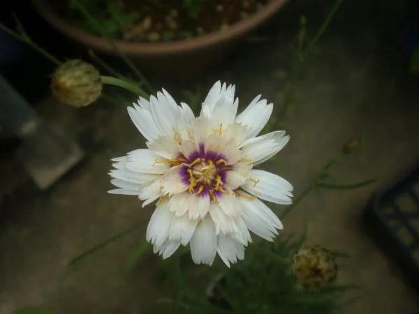 カタナンケ アモールホワイト。八重咲きです。