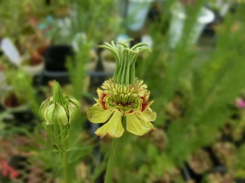 ニゲラ オリエンタリスの花の画像です。