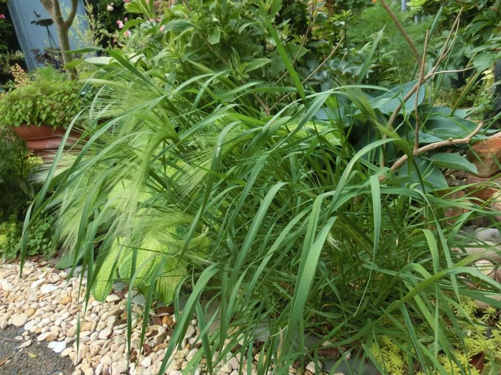 ホルデューム・ジュバタムの植栽例