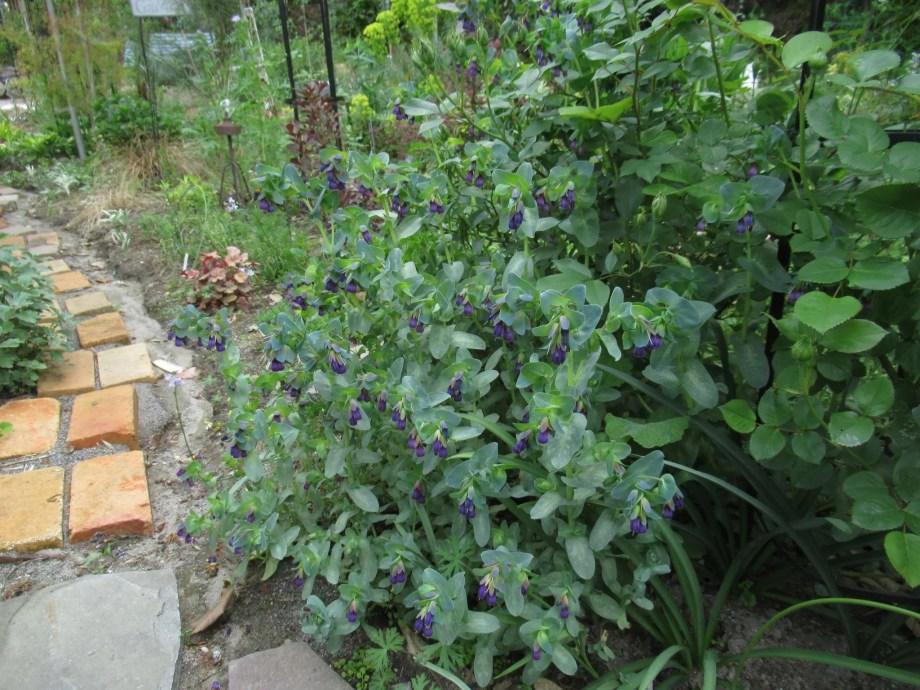 セリンセ・マヨールの植栽画像です。