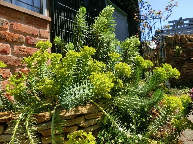 ユーフォルビア リギダの植栽画像。