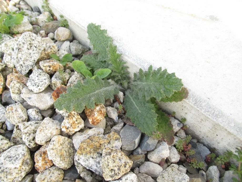こぼれ種で増えたベルケア・パープレアです。