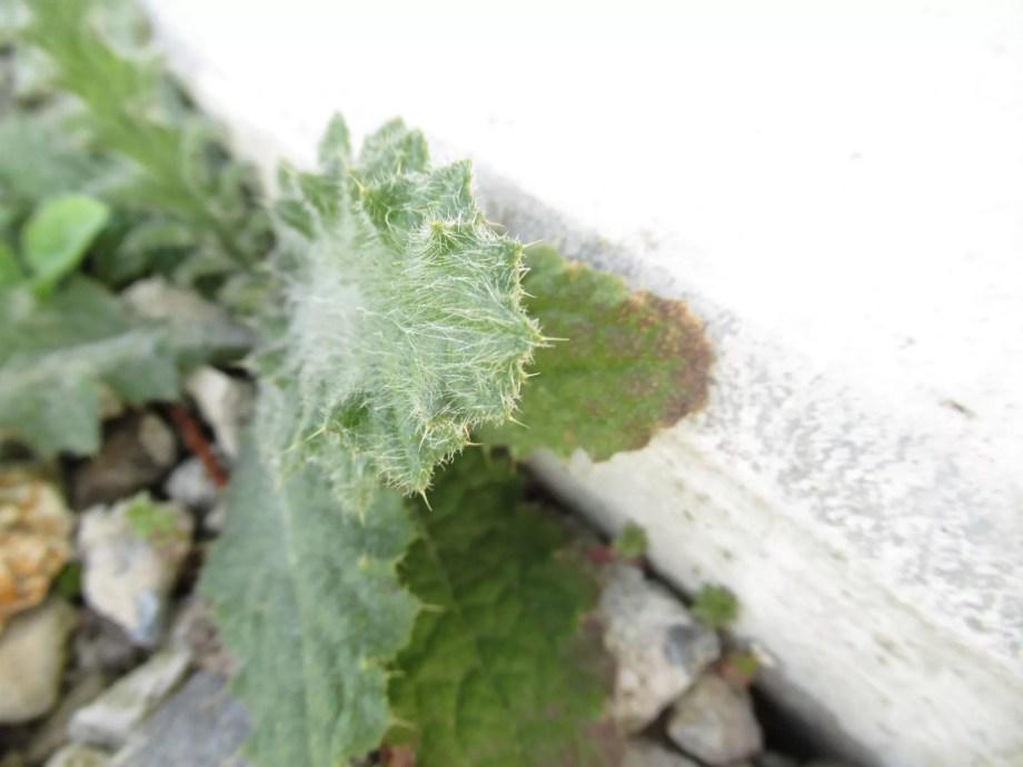 こぼれ種から発芽した株にもベルケアお馴染みのトゲがあります。