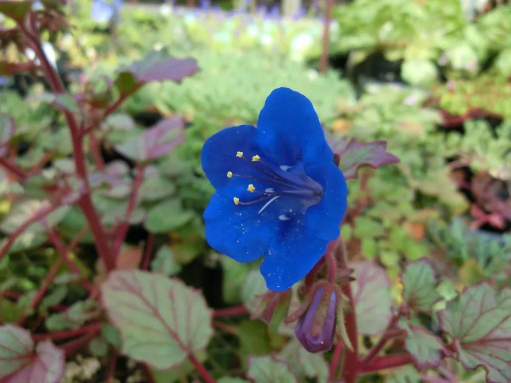 ファセリア・カンパニュラリアの鮮やかな青い花