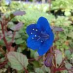 ファセリア カンパヌラリア(カンパニュラリア)の青い花です。