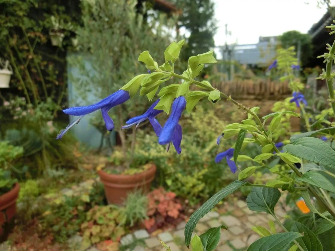 サルビア メキシカナ'ライムライト'の花
