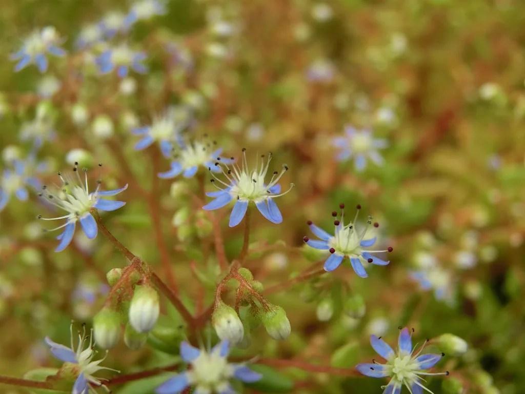 セダム・カエルレウム、カウルレアの花のアップ画像です。