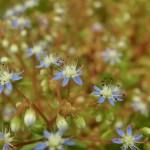 セダム カウルレアと呼ばれるカエルレウムの青花です。