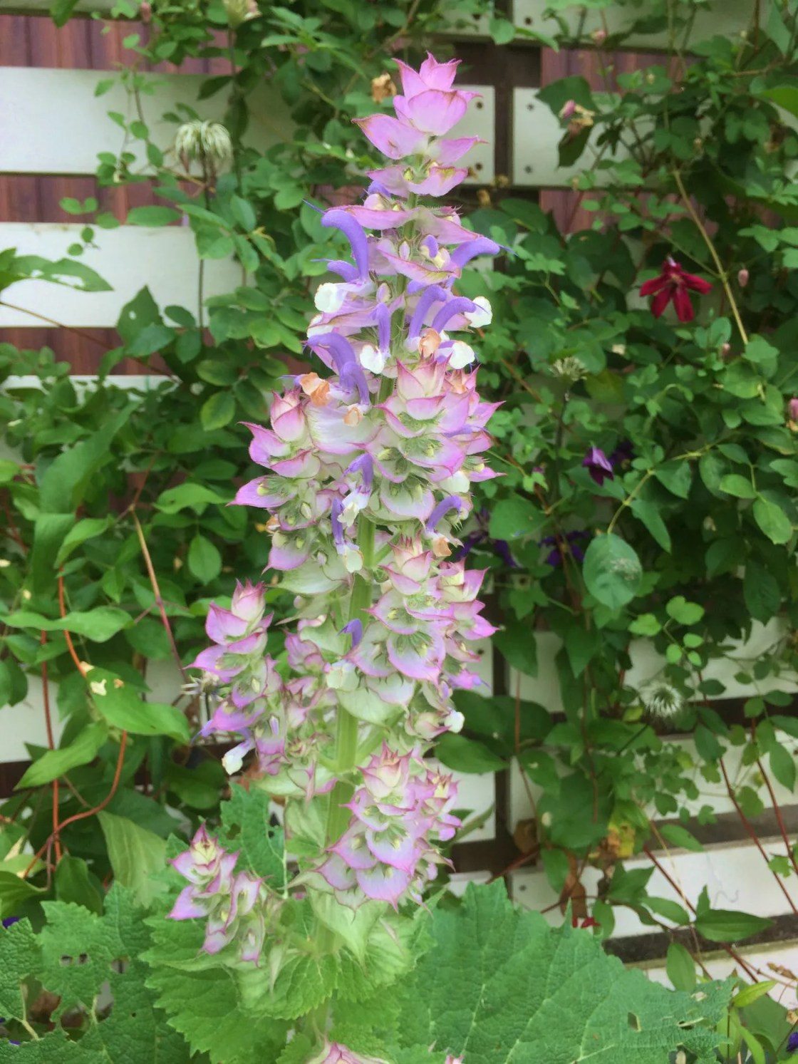 Blooming Clary Sage