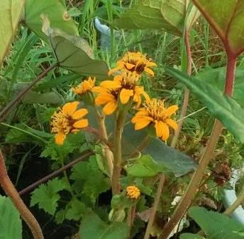 リグラリア 花