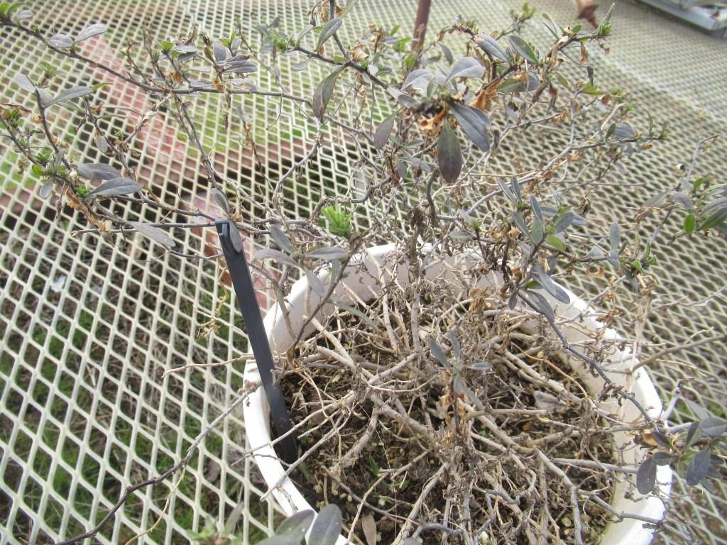 越冬し芽吹き始めたカリブラコア。