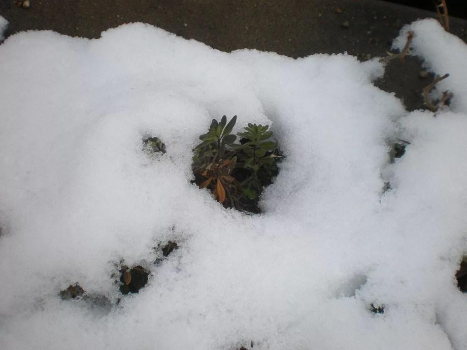 カリブラコア 雪