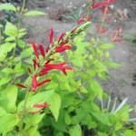 赤花 サルビア