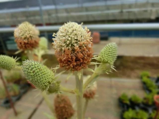 エリンジウム アガビフォリウムの花。