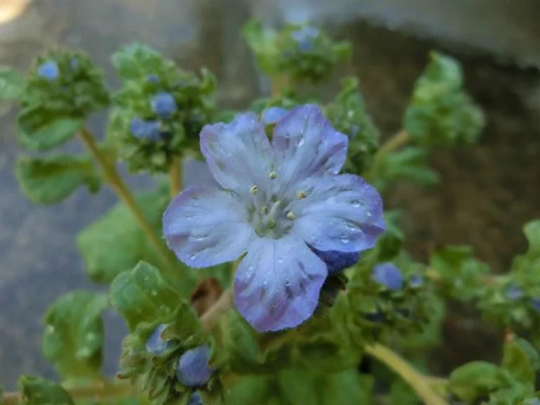 ファセリア・ディバリカタの花です。パルシーではありません。
