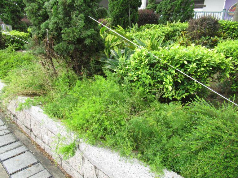 熱帯地方で植えられていたアスパラガス・スプレンゲリー