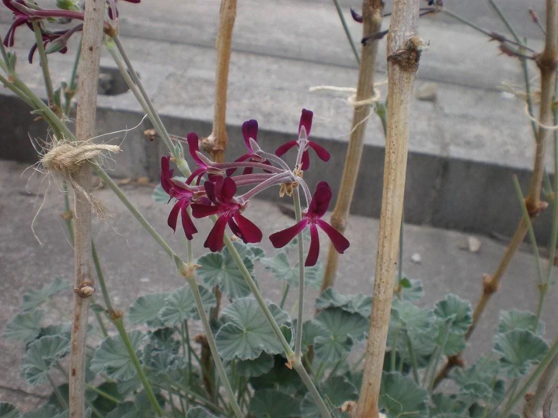 ペラルゴニウム シドイデスの花。