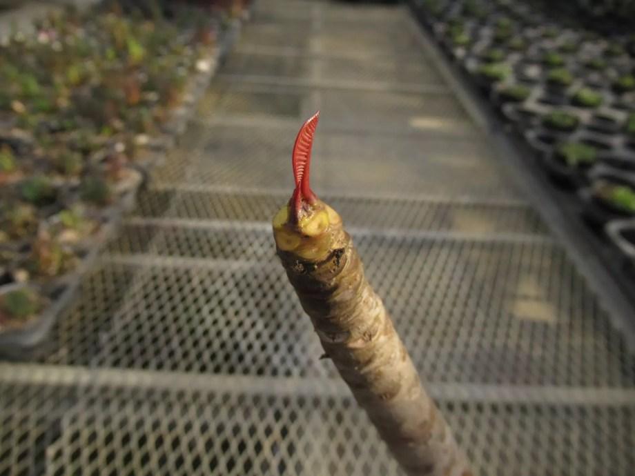 プルメリアの春の芽吹き