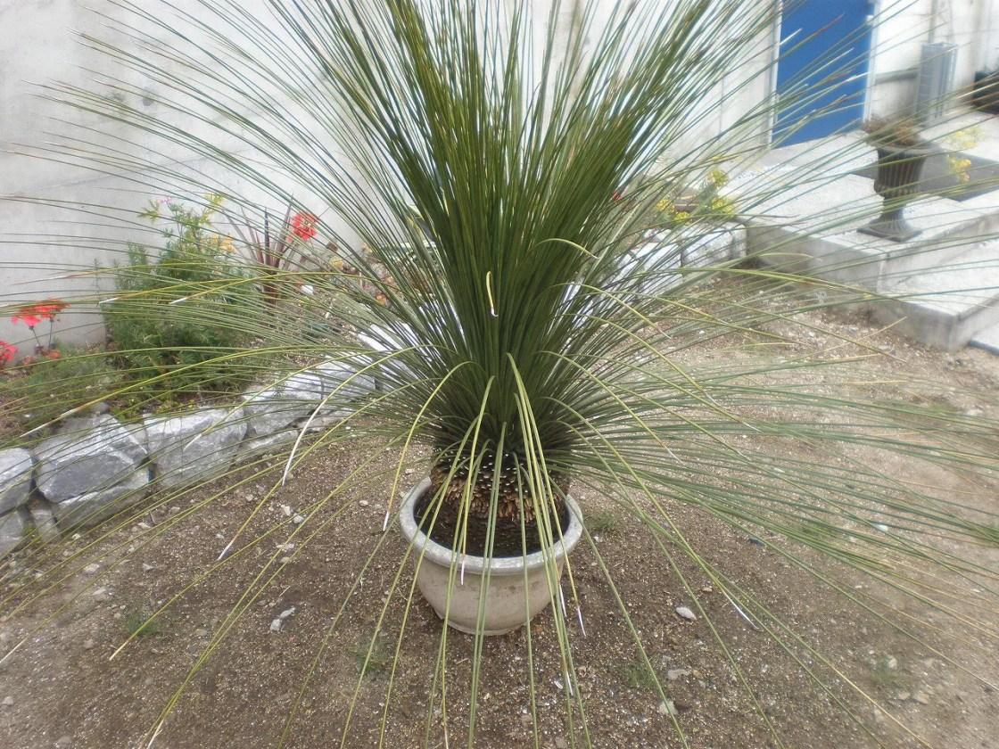 乾燥に強い植物 ダシリリオン ロンギッシマム