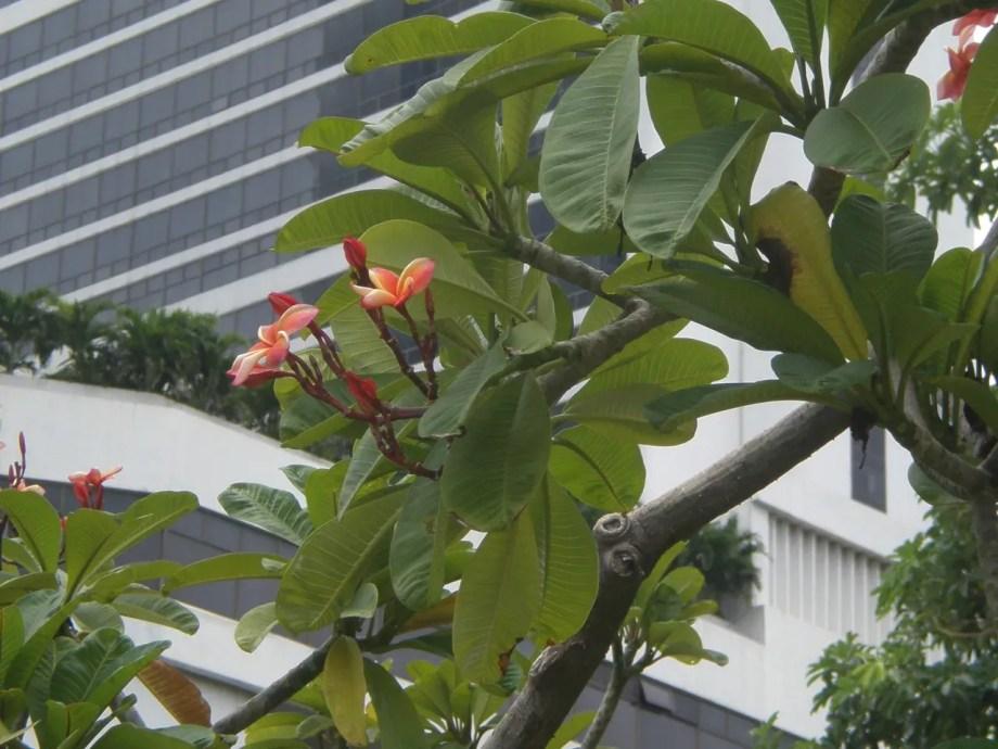 赤花のプルメリア。インドソケイ。