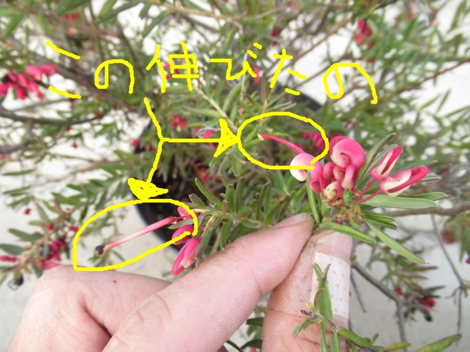 グレビレアの花です。細長いのが特徴です。