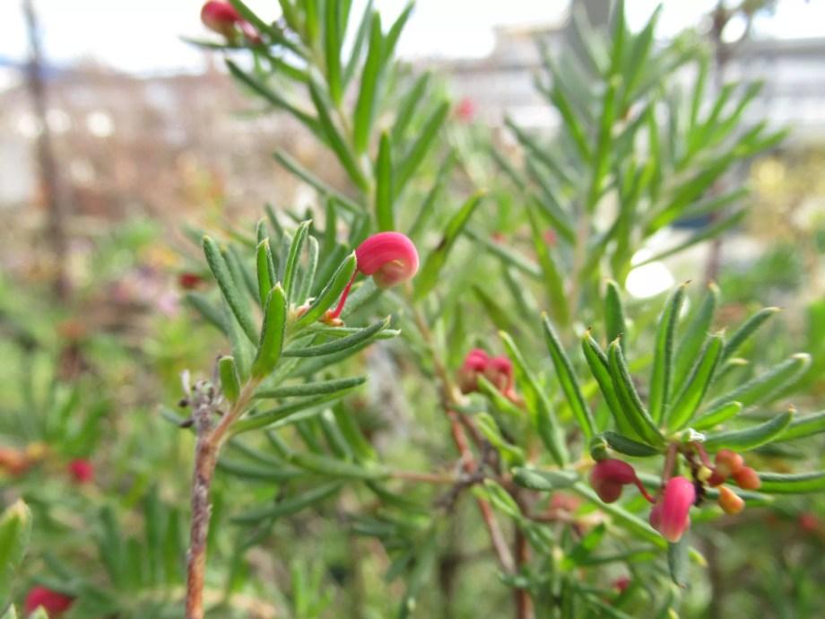 赤い小さい花のグレビレア。寒さに強いです。