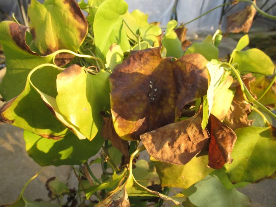 凍傷を起こしたアリストロキア・ギガンテアの葉の拡大画像。