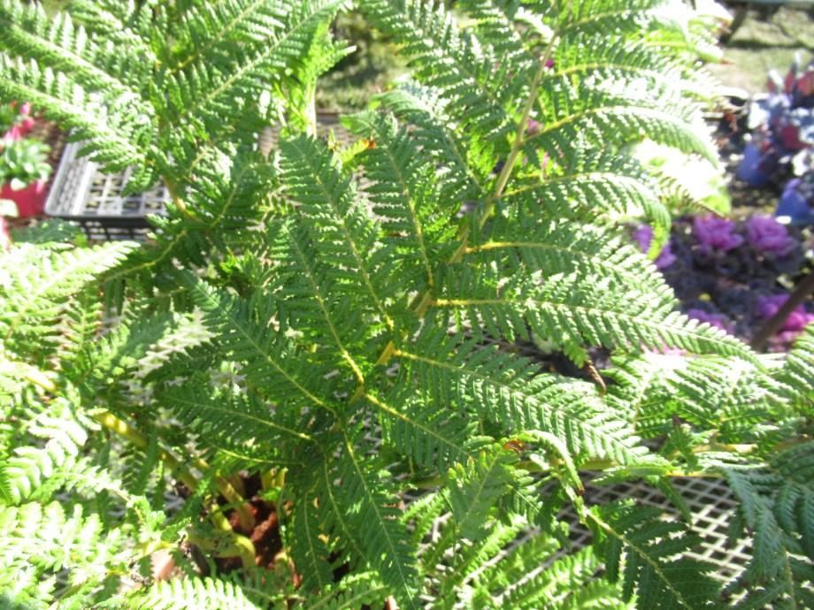 ディクソニア・アンタルクティカの葉。
