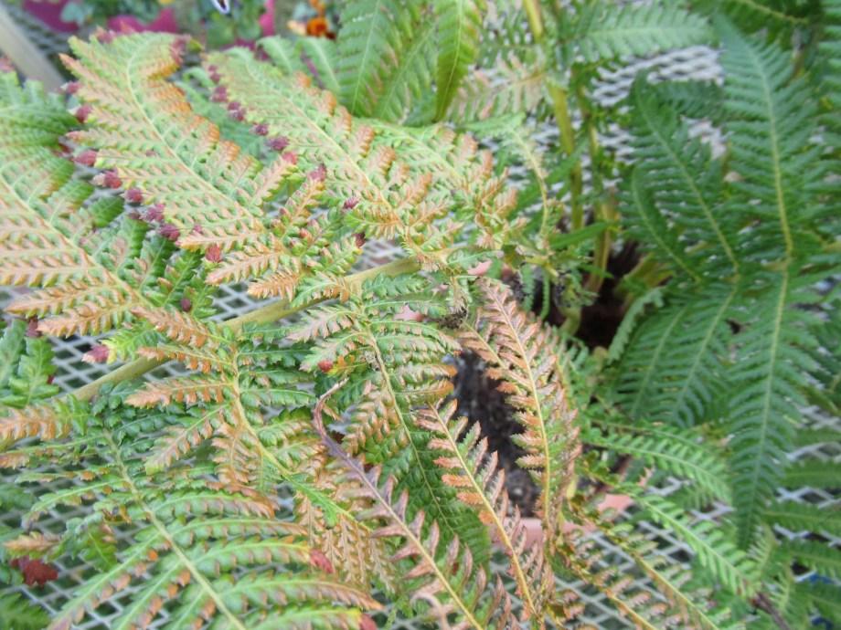 葉の一部がまだ青々としている冬のディクソニア・アンタルクティカ。