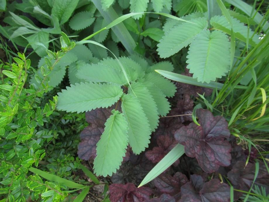 サングイソルバ・ハクサンエンシスの葉です。