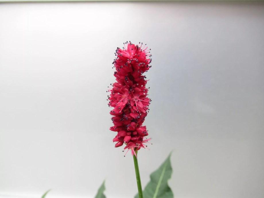 ペルシカリア ブラックフィールドの花の画像です。