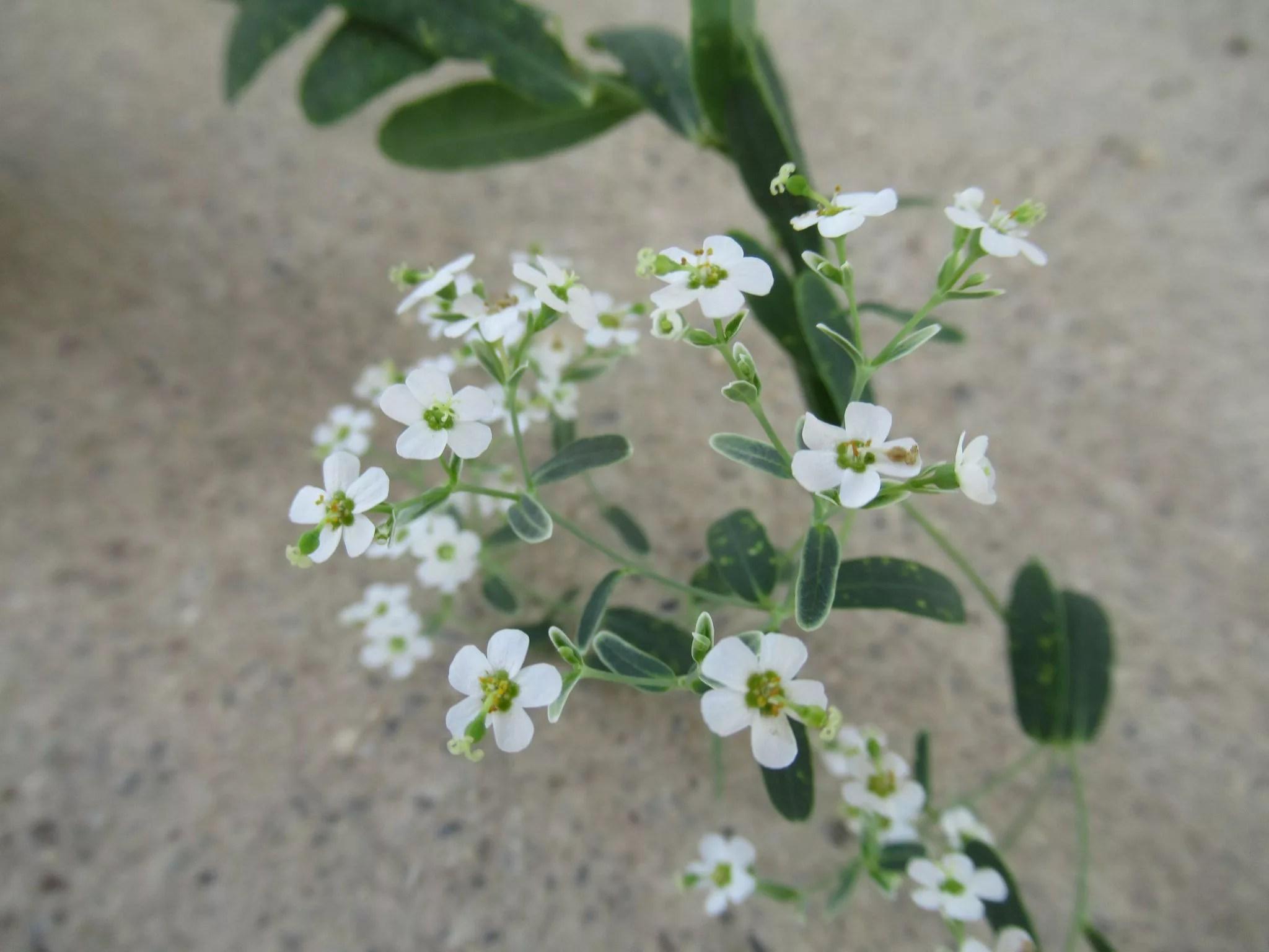 花が茎の先端に集合するユーフォルビア・コロラータ。