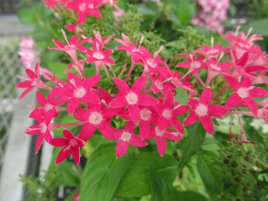 ピンク花のペンタス。