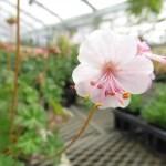 ゲラニウム ビオコボの開花画像です。育て方も書いてます。