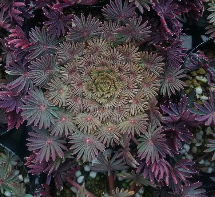オキザリス 孔雀の舞 の冬の葉の色です。冬季はこのような姿です。