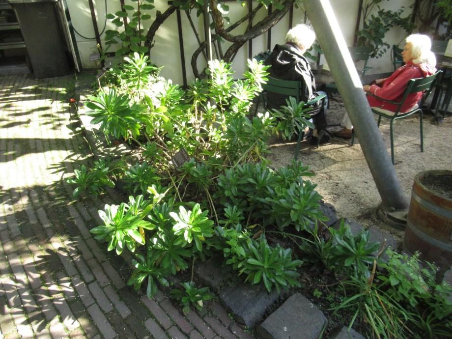 アムステルダム植物園のNipponanthemum nipponicum。
