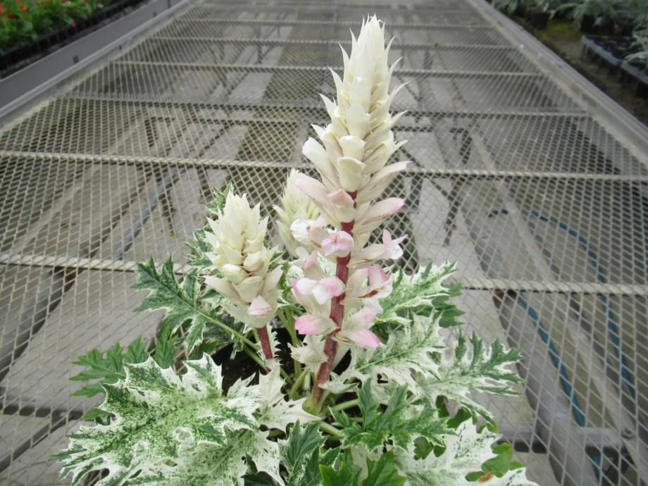 5月下旬に開花するアカンサス ホワイトウォーター