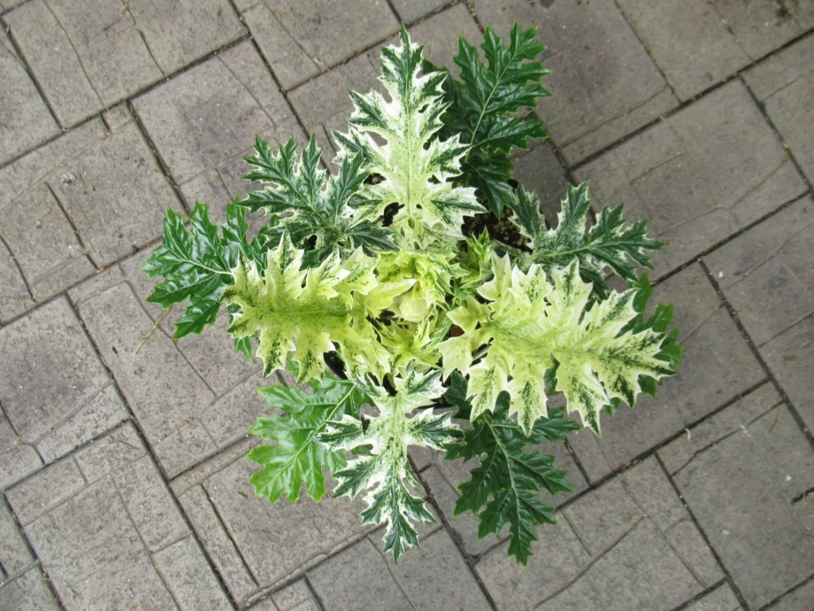 acanthus ssp. whitewater