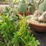 ペペロミア ニパドラ 花