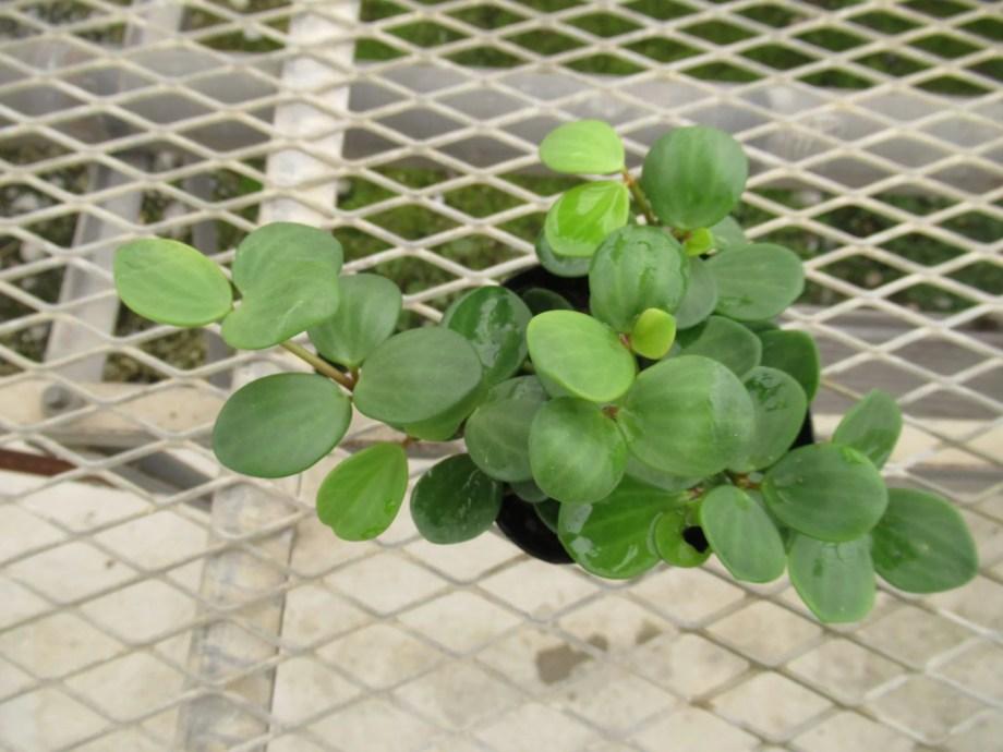 ペペロミア ホープの苗です。