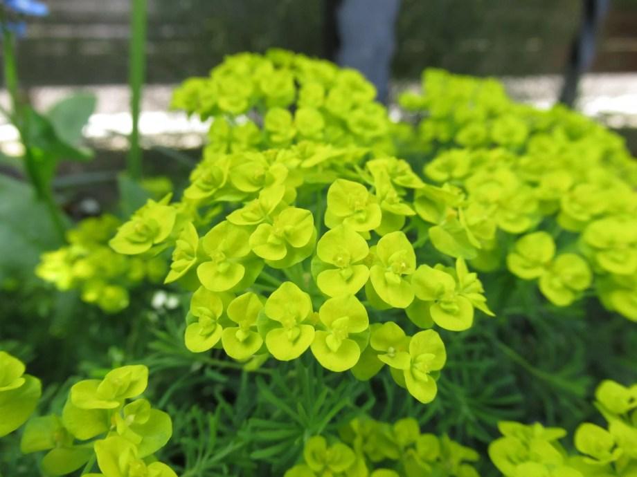ユーフォルビア キパリッシアス(マツバトウダイ)の花