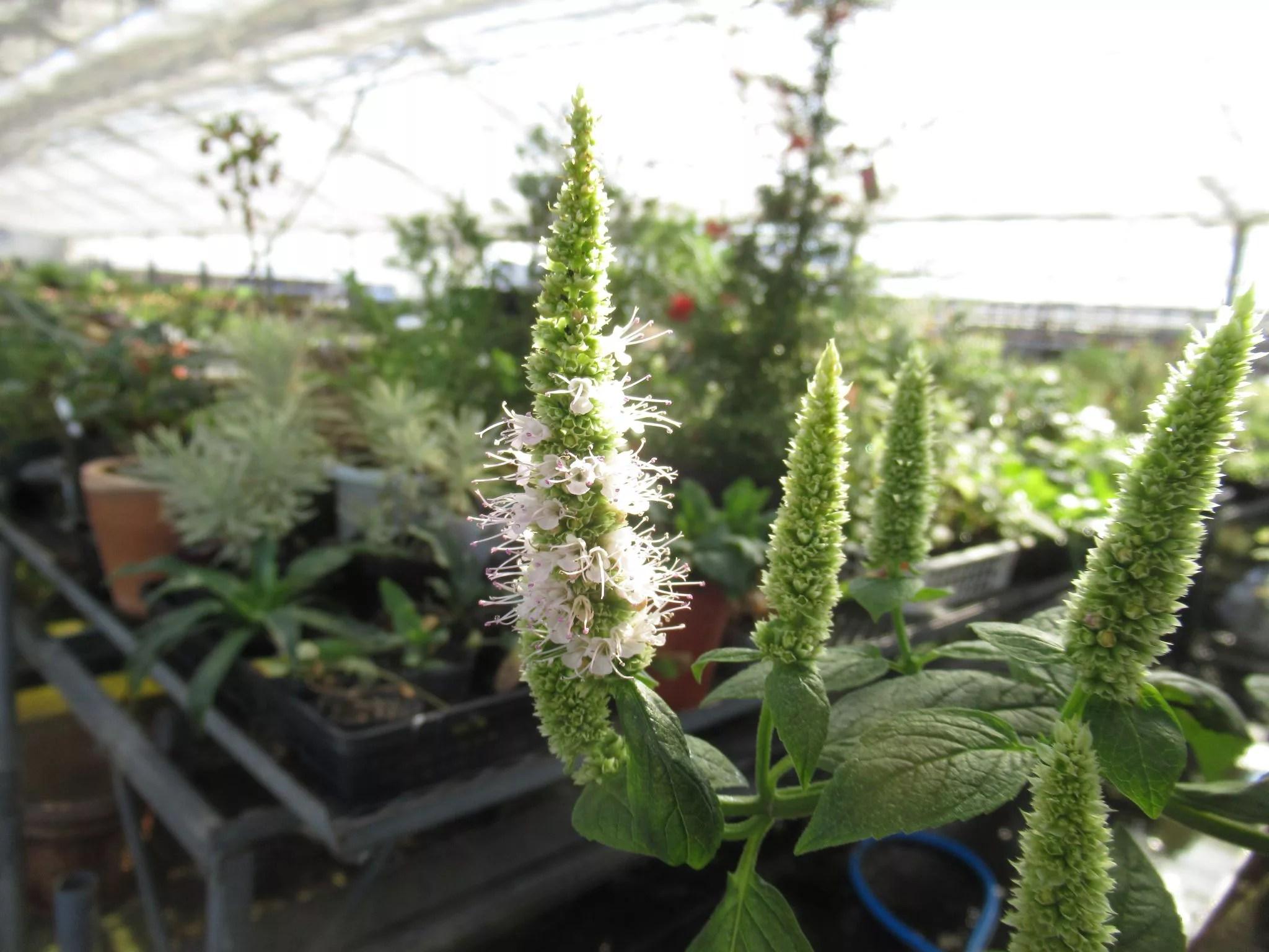 agastache nepetoides アガスターシェ ネペトイデス の花です。