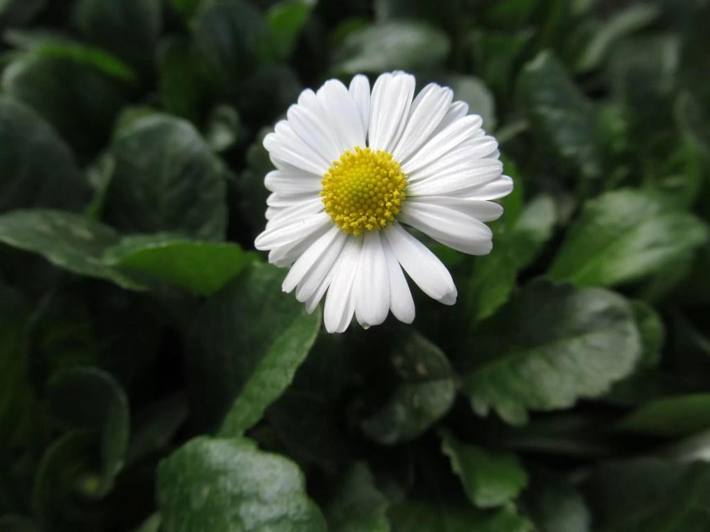 国内で売られているイングリッシュデージーの花です。