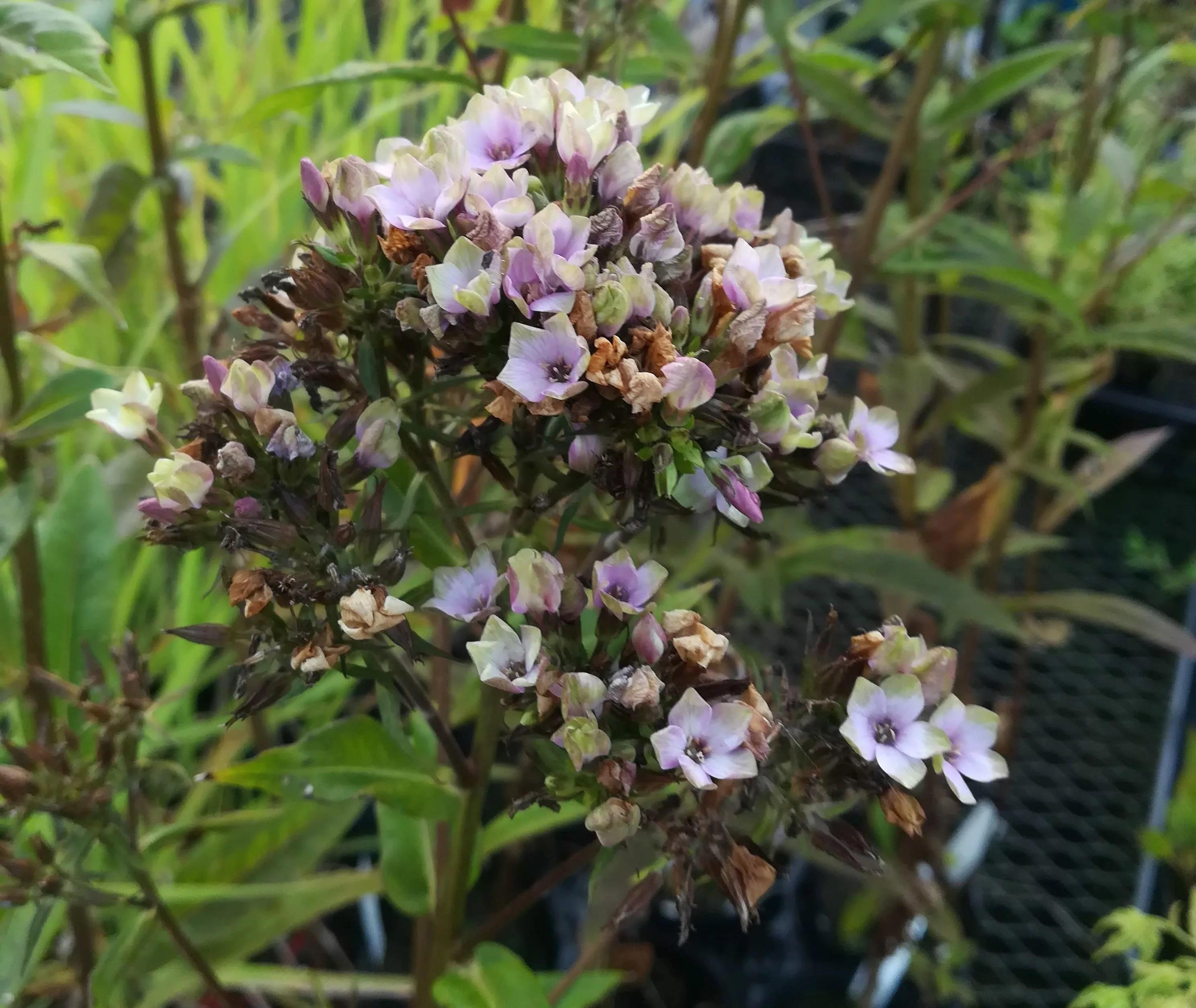宿根フロックス ミスティックグリーンのつぼみと花です。