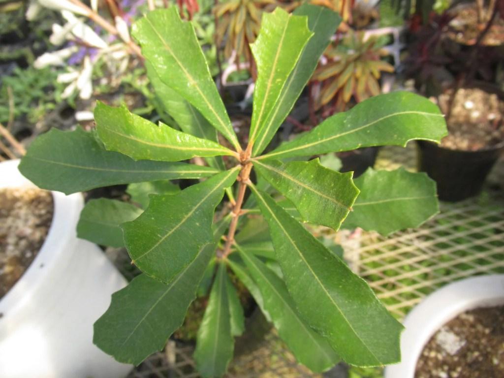 バンクシア インテグリフォリアの葉