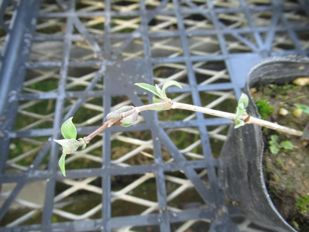 挿し木苗のシセンウツギの葉が展開し始めました。